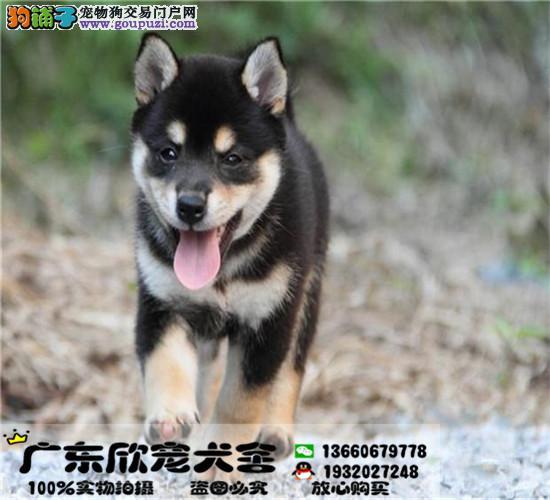 日本引进柴犬宝宝、保证纯种健康、均带血统证书疫苗本