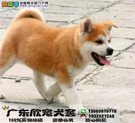 高品质纯种日系秋田犬、血统纯正、保证健康、完美售后