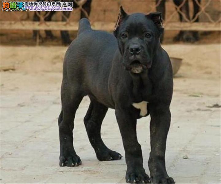 六盘水养殖场直销完美品相的卡斯罗犬全国质保全国送货