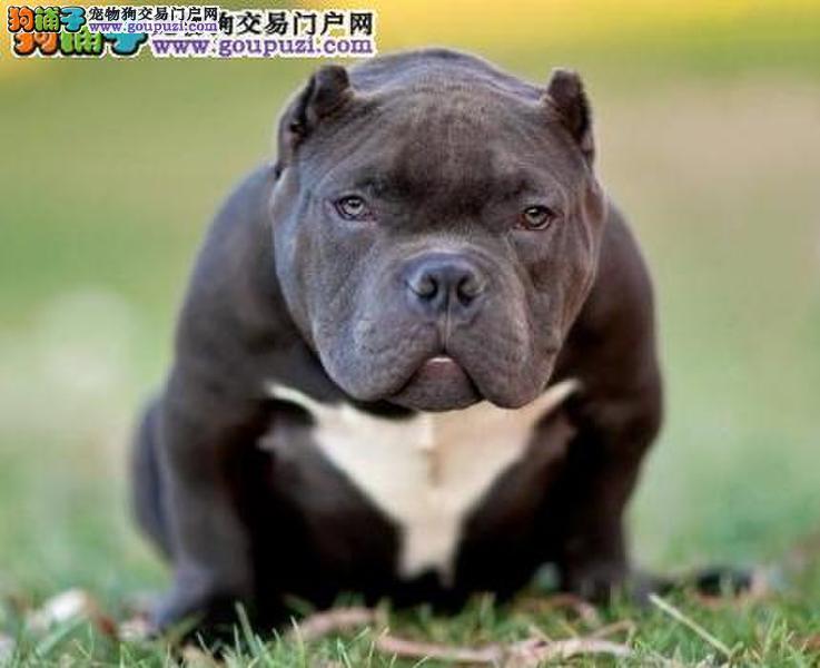 武汉出售纯种血系霸气来袭引领前锋美国恶霸犬公母均有3