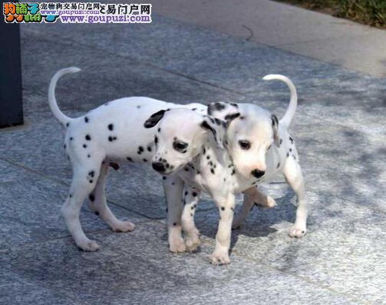 黑白闪烁斑点狗 动作灵敏大麦町犬 聪明好动多只可选