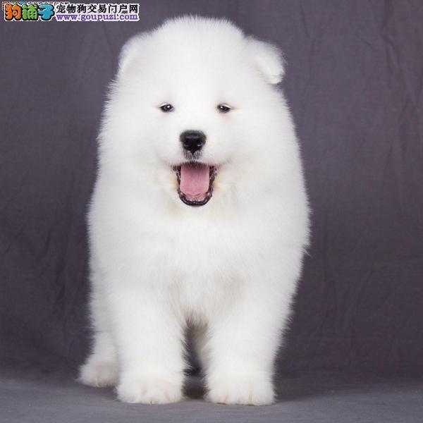 杭州出售纯种萨摩幼犬 微笑天使萨摩幼犬 公母都有