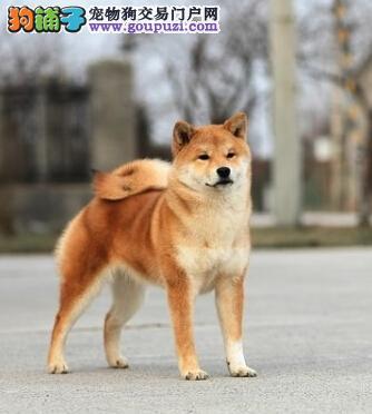 专业繁殖纯种犬基地售顶级柴犬幼犬三针齐 质保三年