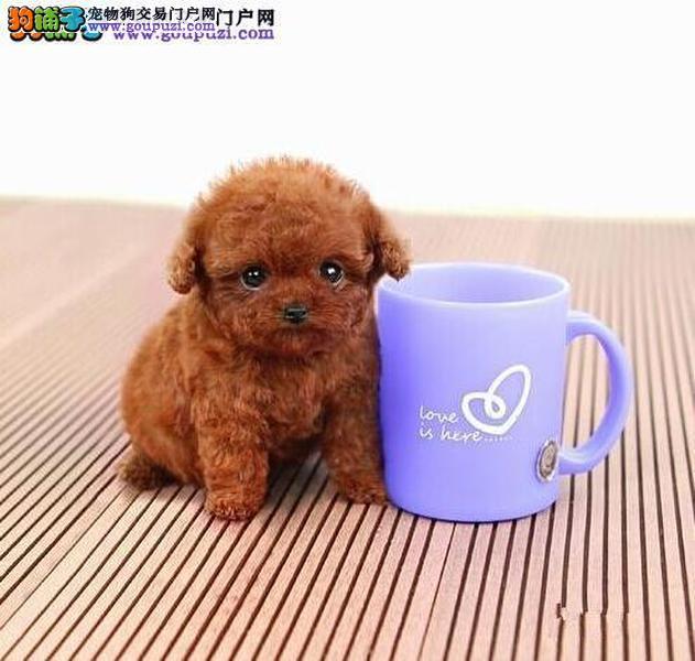 深圳什么地方有卖茶杯贵宾犬 纯种茶杯犬2