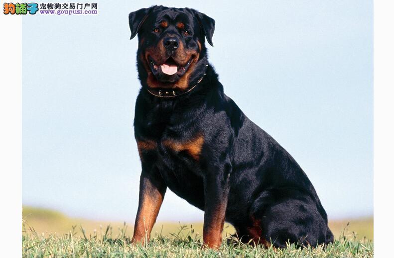 美系罗威纳犬具体优势