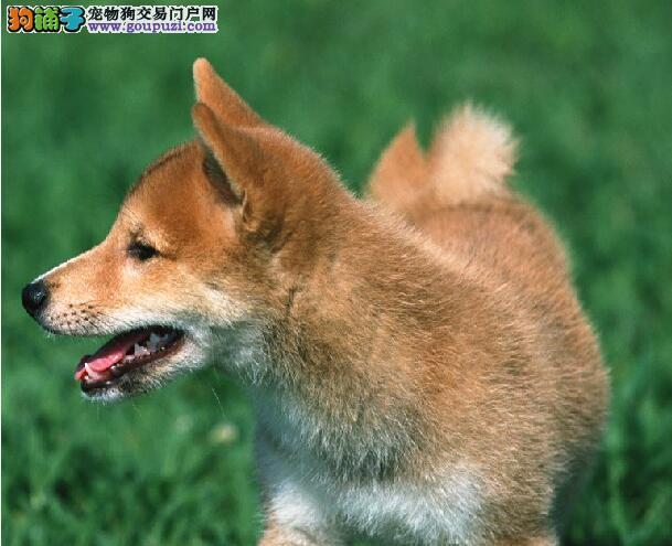 忠诚、温顺、稳重的秋田犬