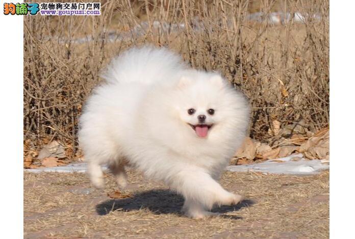 美系博美犬的具体特征