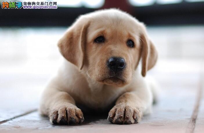 拉布拉多犬 优秀的导盲犬