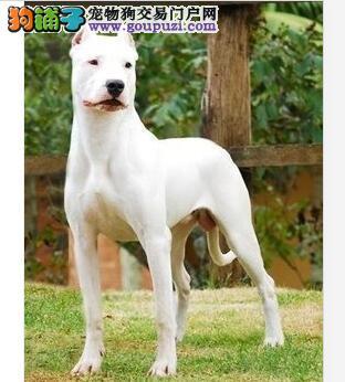 杜高犬,具有强大的爆发力和攻击力