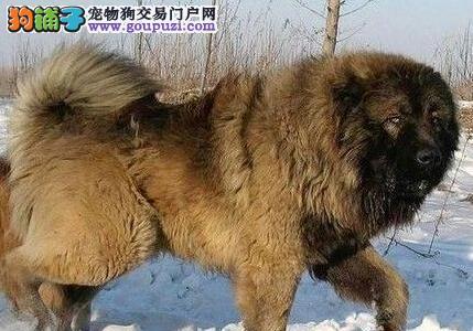 来认识一下威猛凶悍的高加索犬