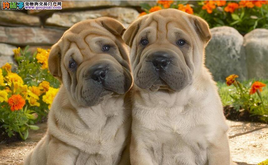 满身褶皱活泼好玩的狗狗---- 沙皮狗