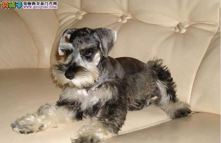 选购雪纳瑞或是泰迪犬都很好