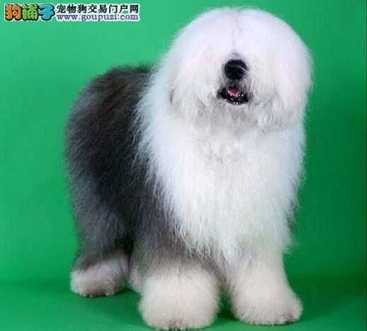 拥有毛发披满全身的帅气古代牧羊犬