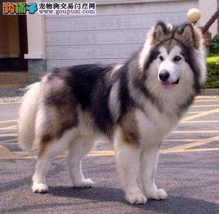 初步了解阿拉斯加雪橇犬