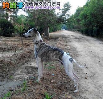 漂亮敏捷的灵缇,格力犬