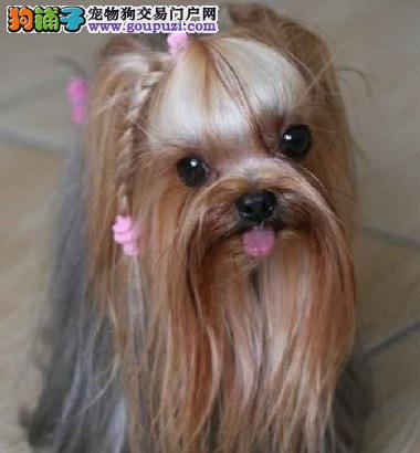 自信美丽的约克夏犬