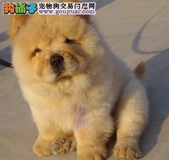 可爱有个性的松狮犬