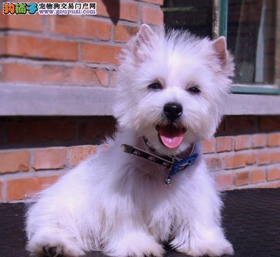 漂亮的西高地白梗犬,满身优点