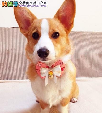 短腿的女王贵族犬,威尔士柯基犬