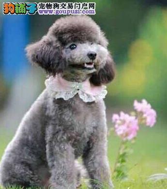 泰迪犬和贵宾犬的区别