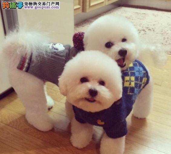 可爱的卷毛犬,比熊犬