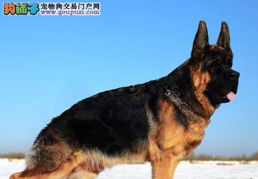 机警勇敢的德国牧羊犬