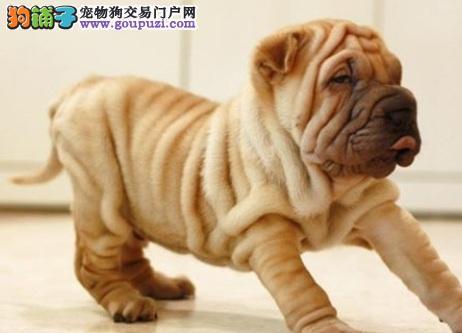 怪异可爱的沙皮狗