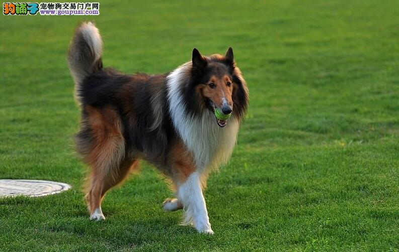 苏格兰牧羊犬身体各方面都是有标准的