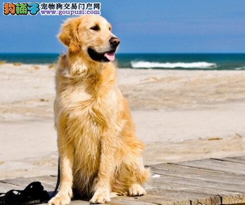 温暖阳光的撒娇犬 金毛犬