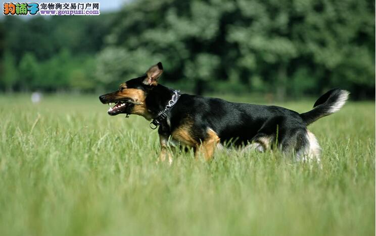 教你分辨狼狗和德国牧羊犬不同之处