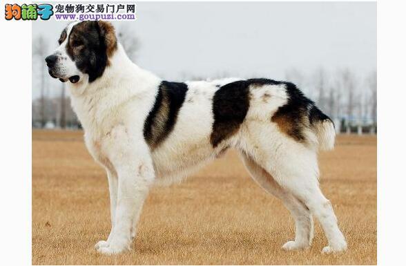 中亚牧羊犬突然昏倒 原来是有这个病……