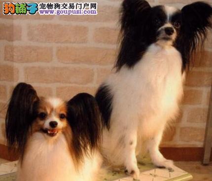 夏季护理蝴蝶犬的注意事项