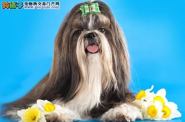 饲主请注意!保护西施犬健康