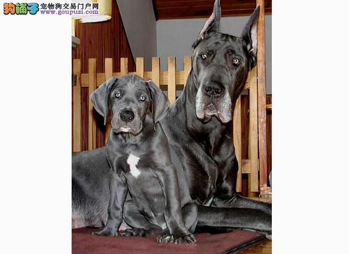 大丹犬不能吃的六大类年节食品