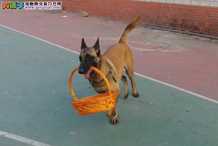 北京正规犬舍高品质马犬带证书CKU认证绝对信誉保障