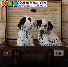 颜色全品相佳的斑点狗纯种宝宝热卖中期待您的来电咨询2