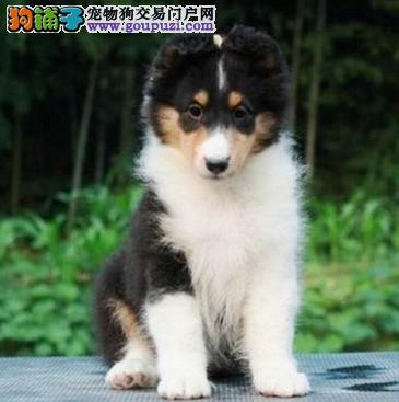 广州哪里买狗最好 喜乐蒂价格 尚雅狗场有卖纯种喜乐蒂