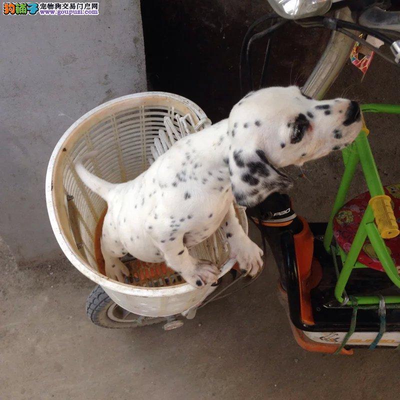 桂林精品高品质斑点狗宝宝热销中桂林市内免费送货