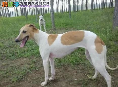 赛级品相格力犬幼犬低价出售微信咨询视频看狗