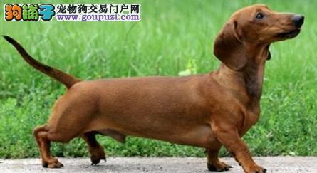 北京出售颜色齐全身体健康腊肠犬签订保障协议