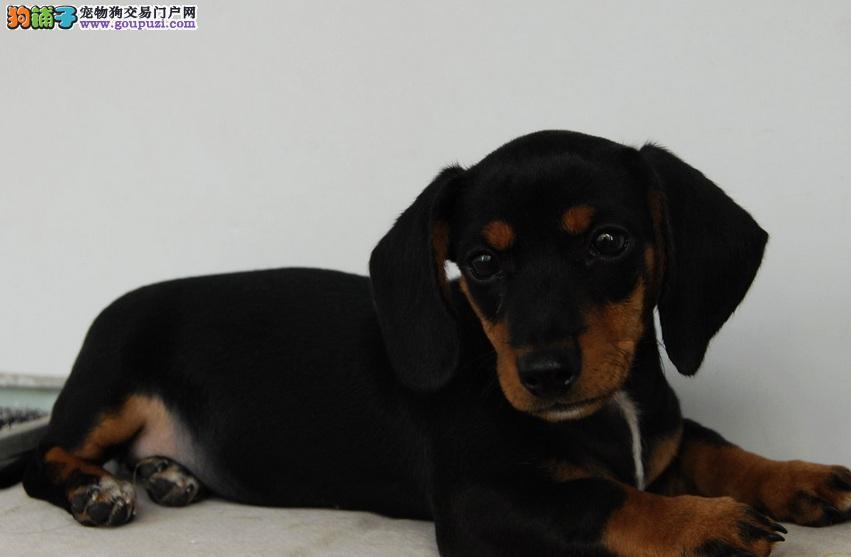 微型超小体纯种棕红铁包金小腊肠犬南通犬舍繁育出售