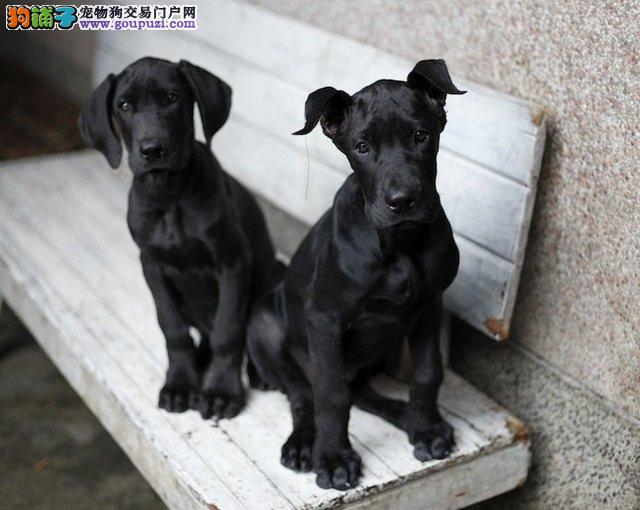 出售多只优秀的大丹犬杭州可上门质保协议疫苗驱虫齐全