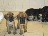 本地出售高品质大丹犬宝宝签订协议终身质保