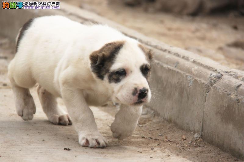 百分百健康纯种中亚牧羊犬热卖中终身质保终身护养指导