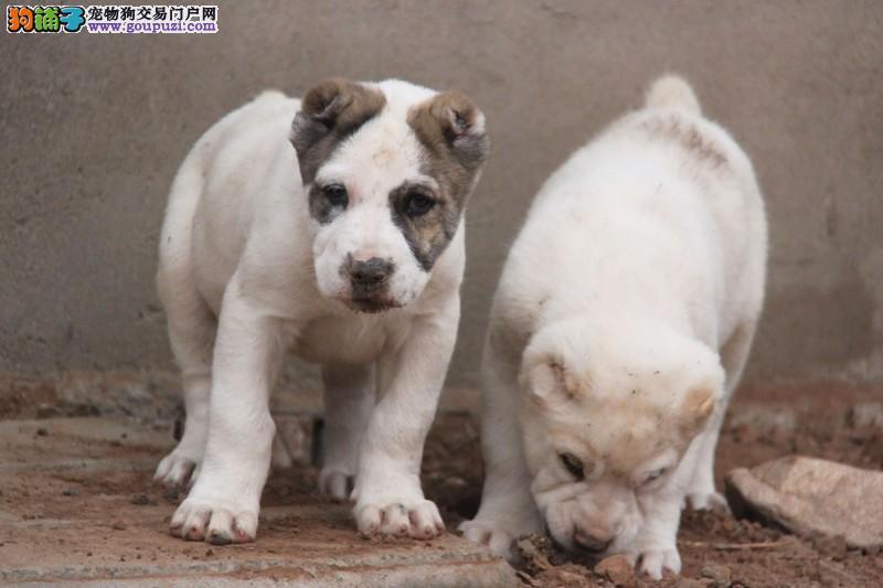 三亚最大犬舍出售多种颜色中亚牧羊犬国际血统证书
