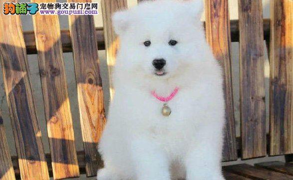 直销价格出售微笑天使萨摩耶 长沙市内可免费送狗