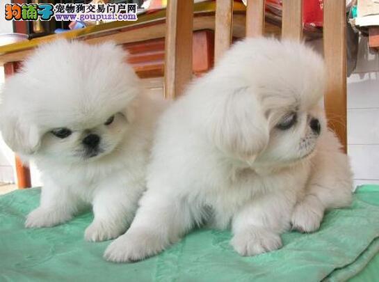 赛级品相京巴幼犬低价出售优质售后服务