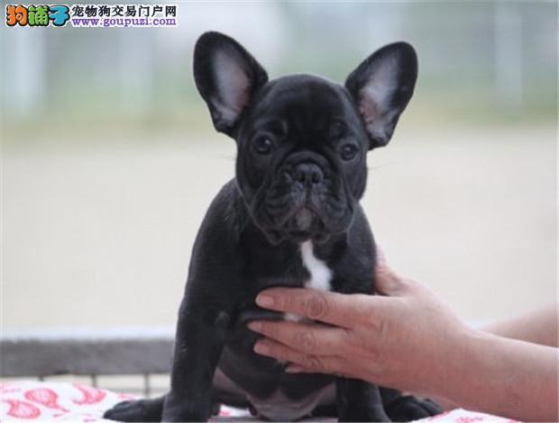 上海犬舍专业繁殖法国斗牛犬 赛级法牛纯种健康保证