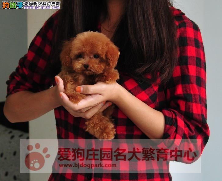 北京最大的泰迪犬基地 完美售后 质量三包 可送货上门1