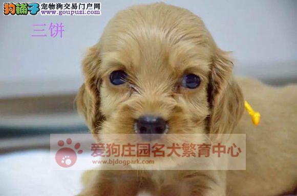 精品可卡幼犬哪里有卖,担保健康纯种